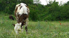 Calf Grazing on a Green Spring Meadow Stock Footage