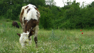 Stock Video Footage of Calf Grazing on a Green Spring Meadow