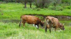 Herd of Cows ( Miniature Effect) 2 Stock Footage