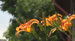 Nice orange tall flowers in front of house, moving fast in the wind blow, nature Stock Footage