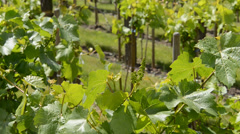 Vineyard in the spring,zoom in Stock Footage