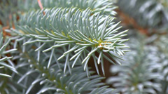 Closer look of picea pungens or blue spruce gh4 Stock Footage