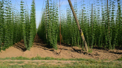 Drive aroun the hop garden,vehicle shot Stock Footage