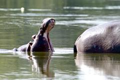 Hippo yawning Stock Photos