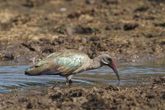 Hadeda ibis Stock Photos