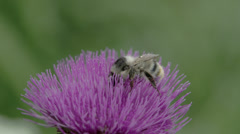 A big bee sucking on the flower of thistle fs700 odyssey 7q Stock Footage