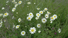 Lots of daisies and thislte flowers on field fs700 odyssey 7q Stock Footage