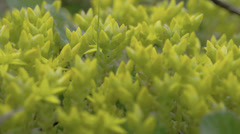 Stock Video Footage of close-up view of the petals of yellow serum plant fs700 odyssey 7q