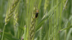 A fly or pest sticking on the green barley plant fs700 odyssey 7q Stock Footage