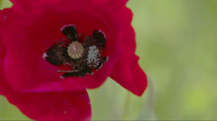 Closer look of the petals of the poppy flower with an insect inside fs700 ody Stock Footage