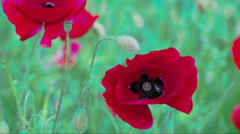 the close up view of the red papaver flower fs700 odyssey 7q - stock footage