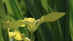 Beautiful petal of the yellow iris flower fs700 odyssey 7q Stock Footage