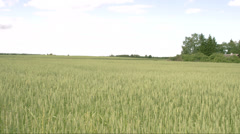 The view of the field with wheat grass fs700 odyssey 7q Stock Footage