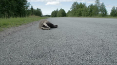 A dead black badger lying on the side of the street fs700 odyssey 7q Stock Footage
