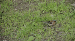 A small fringilla coelebs bird hopping in the ground fs700 odyssey 7q Stock Footage