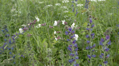 soapworts and blueweed flowers in the garden fs700 odyssey 7q - stock footage