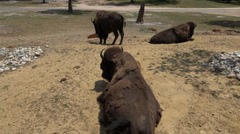 Bison, Water Buffalo, Wild Animals, Zoo Animals Stock Footage