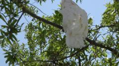 Sulphur-crested Cockatoo (Cacatua galerita) Stock Footage