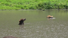 Bears, Mammals, Zoo Animals, Wildlife Stock Footage