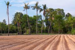 start cultivation cassava or manioc plant field - stock photo
