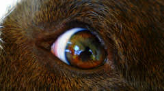 Sad Dog Eye. Close up. Macro. - stock footage