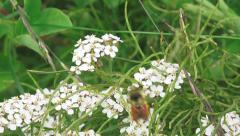 Honey Bee on Yarrow Blossoms Collecting Nectar Flies Away Stock Footage