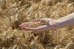 Agriculture, wheat crop Stock Photos
