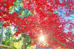 beautiful red maple tree on sunny day - stock photo