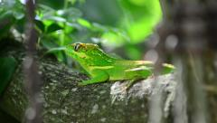Green cuban knight anole (anolis equestris) from back on a tree Stock Footage
