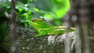 Stock Video Footage of green cuban knight anole (anolis equestris) from back on a tree