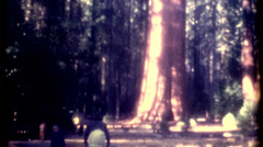 Film of Sequoia National Park General Sherman tree 1960s vintage historic film Stock Footage