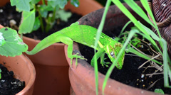 Green cuban knight anole (anolis equestris) hidding an egg to keep it save 07 Stock Footage