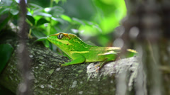 Green cuban knight anole (anolis equestris) stays horizontal on tree and leav Stock Footage