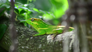 Stock Video Footage of green cuban knight anole (anolis equestris) stays horizontal on tree and leav