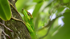 Green cuban knight anole (anolis equestris) stays on tree watchs and leaves Stock Footage