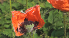 Big oriental poppy flowers in the garden Stock Footage
