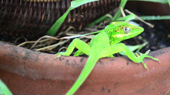 Green cuban knight anole (anolis equestris) under alert Stock Footage