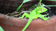 Stock Video Footage of green cuban knight anole (anolis equestris) under alert