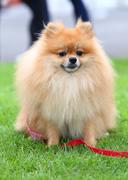 Cute pet, pomeranian grooming dog sitting on green grass at home garden Stock Photos