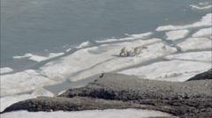 Two Polar Bears Arctic Tundra Stock Footage