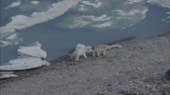 Two Polar Bears Arctic Tundra Stock Footage