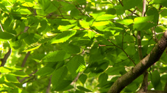 4K UHD - Sun shinning through bright green leaves with branch in the wind Stock Footage