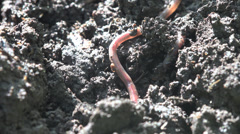 Earthworm hiding in ground insect macro 4k Stock Footage