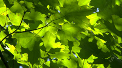 4K UHD - Bright green Maple leaves moving slowly in the wind with sun and shadow Stock Footage
