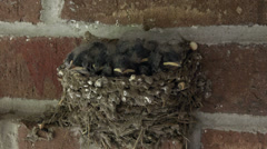 Barn Swallow baby birds in nest 4K 203 Stock Footage
