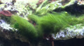 Long green algae floating in the current Footage
