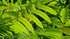 4K UHD - Fraxinus bright green leaves with bits of blue sky in background Stock Footage