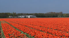 Orange tulip field and bulb storage shed, pan  row of dunes, zoom out. Stock Footage