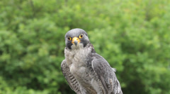 Peregrine falcon bird of prey, falco peregrinus, african sub species Stock Footage
