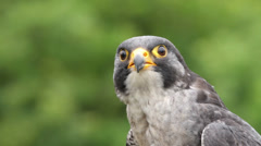 peregrine falcon bird of prey, falco peregrinus, african sub species - stock footage